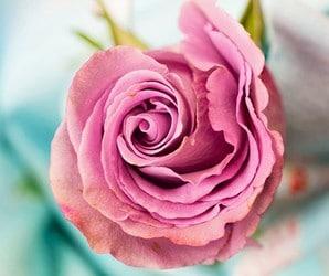 principe rose éternelle
